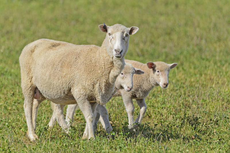 Mammal. Closeup of 2 lambs and a ewe in a grass pasture stock photography