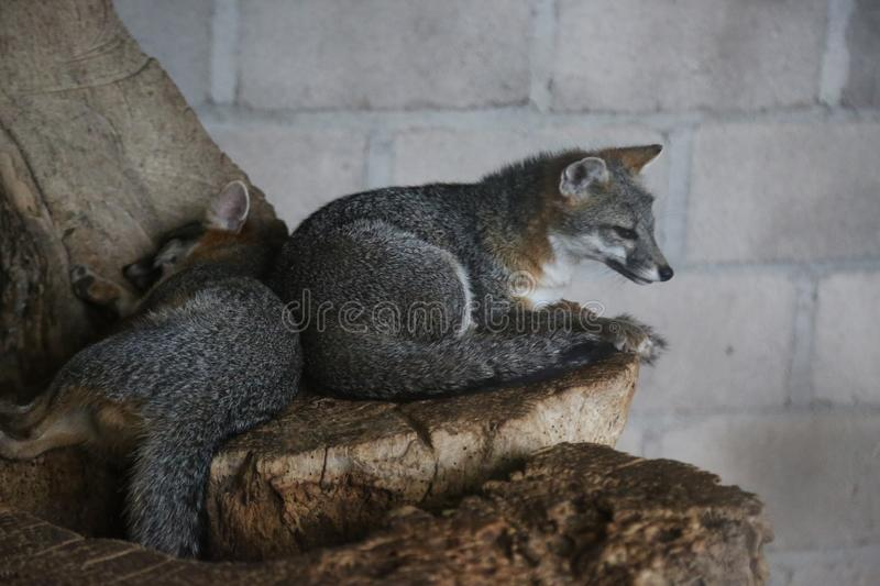 Mammal, Fauna, Grey Fox, Fox stock image