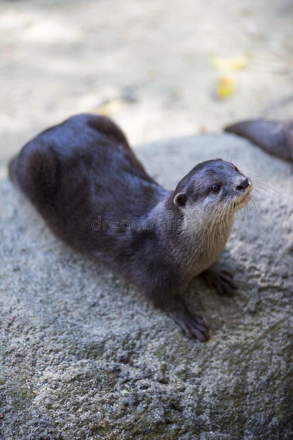 Mammal, Fauna, Otter, Harbor Seal stock photography