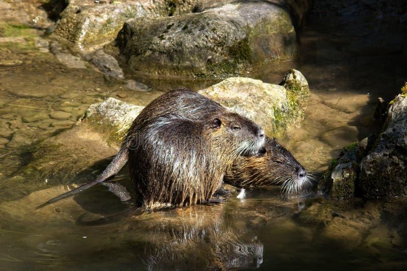 Mammal, Fauna, Otter, Water Free Public Domain Cc0 Image