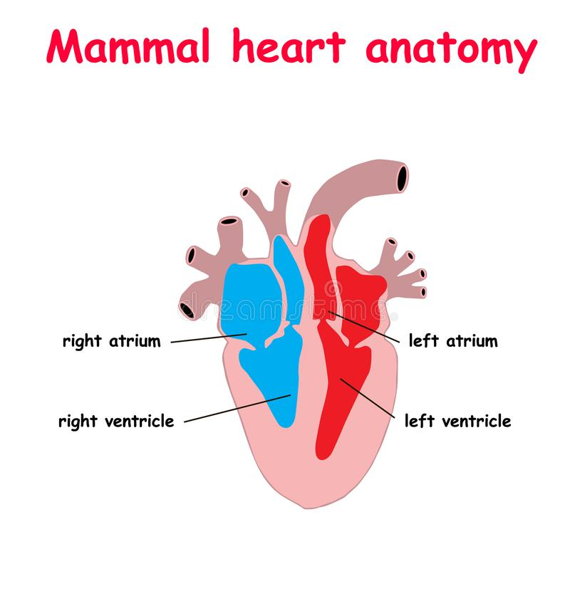 Mammal heart abatomy flat material design landing site isolated on white background vector illustration. education info graphic vector illustration
