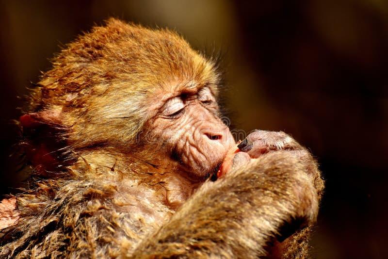 Mammal, Macaque, Fauna, Old World Monkey Free Public Domain Cc0 Image
