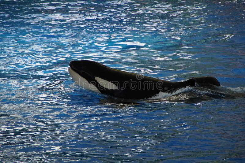 Mammal, Marine Mammal, Killer Whale, Whales Dolphins And Porpoises royalty free stock image