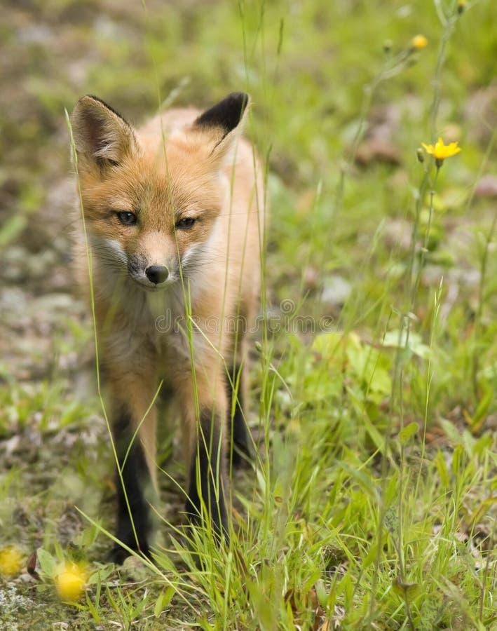 Download Mammal  red fox B stock photo. Image of closeup, predator - 9994216
