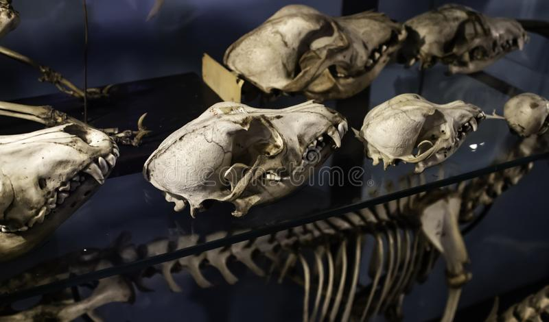 Mammal skeletons anatomy. Mammal skeletons in anatomy laboratory, animals and symbols, diagnosis, physiology, medical, canine, medicine, veterinary, artificial stock photography