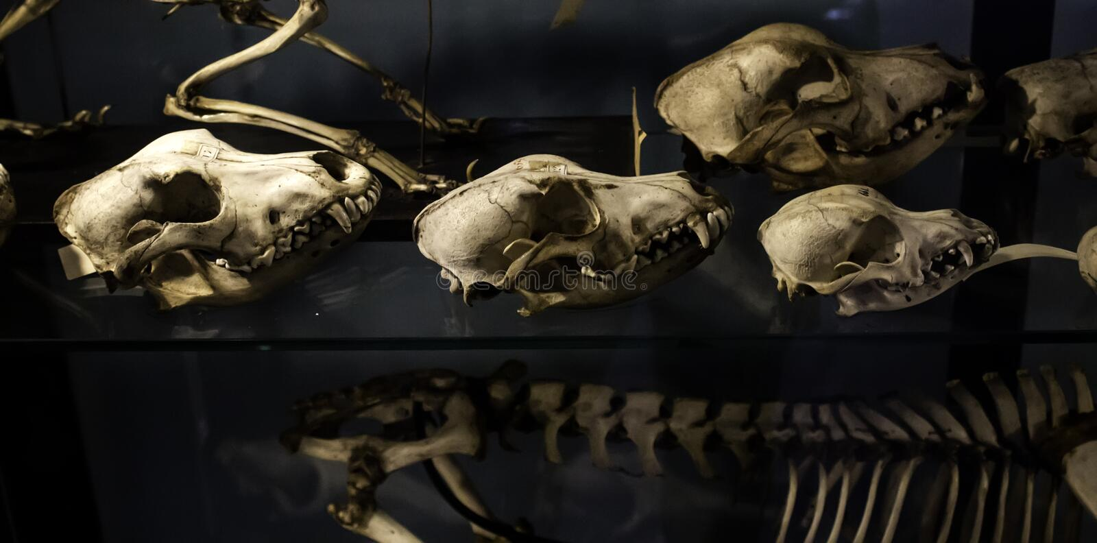 Mammal skeletons anatomy. Mammal skeletons in anatomy laboratory, animals and symbols, diagnosis, physiology, medical, canine, medicine, veterinary, artificial stock photo