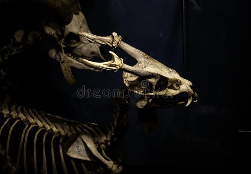 Mammal skeletons anatomy. Mammal skeletons in anatomy laboratory, animals and symbols, diagnosis, physiology, medical, canine, medicine, veterinary, artificial royalty free stock photography