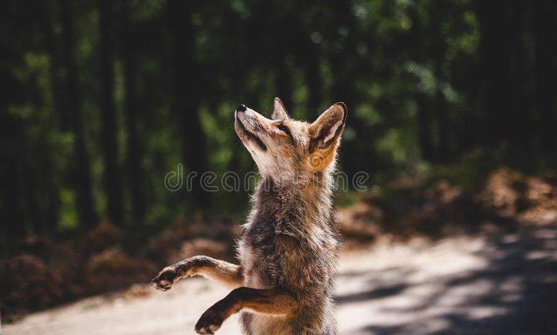 Mammal, Wildlife, Fauna, Fox stock photography