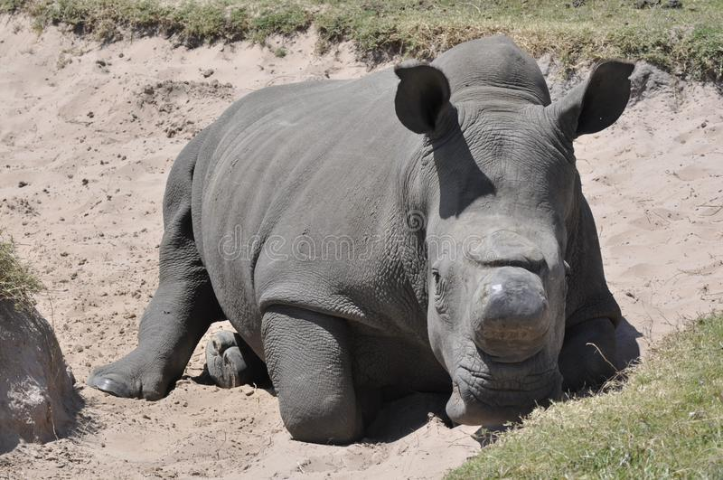 Rhino. These mammals are easily recognised by their prehistoric features and the horns on their forehead. Rhinos are bold and have been seen to graze right next stock photo