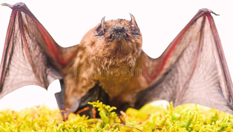 Mammals naturally capable of true and sustained flight. Bat emit ultrasonic sound to produce echo. Bat detector. Ugly. Bat. Dummy of wild bat on grass. Wild stock photography