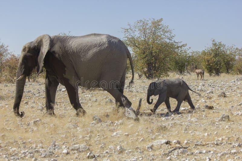 Mamman och behandla som ett barn elefanten, Namibia royaltyfri foto