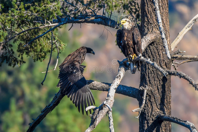 `-Mamman tappade du precis min sällsynta iakttagelse amerikanska skalliga Eagle för fisk` i den sydliga Kalifornien serien royaltyfri bild