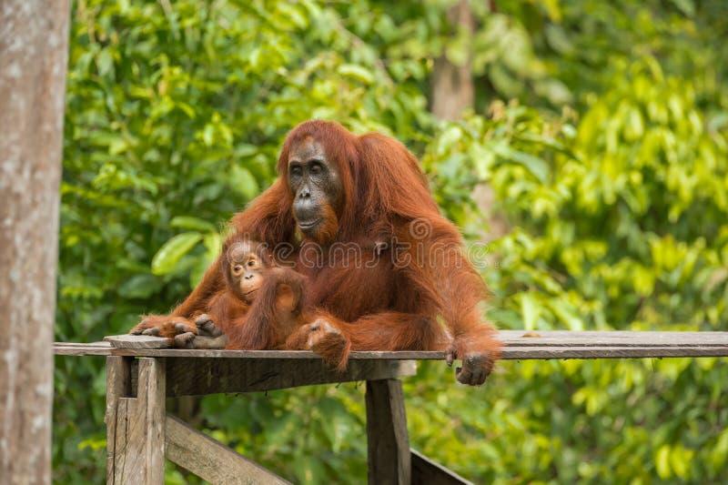 Mammaorangutanget med behandla som ett barn i hennes tänka för armar (Indonesien) royaltyfria bilder