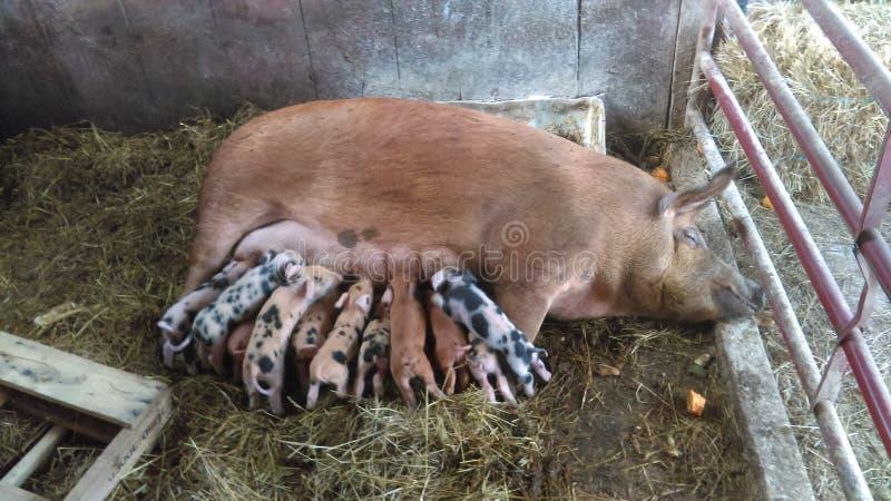 Mammavarken en haar biggetjes stock afbeeldingen