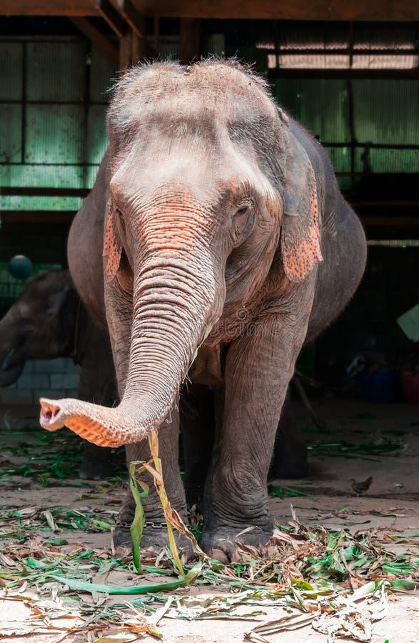 Mammifère, éléphant mangeant des grains de la terre, profondeur de foyer image libre de droits