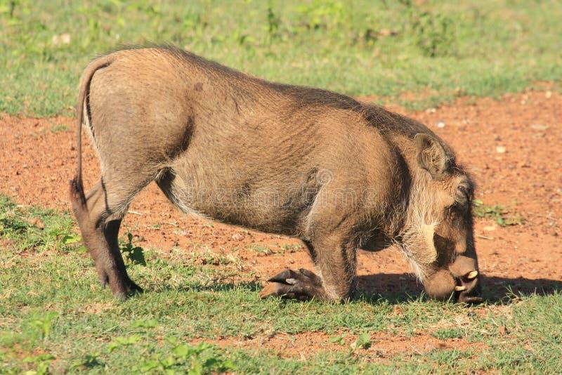 Mammifère d'Africain de phacochère photographie stock
