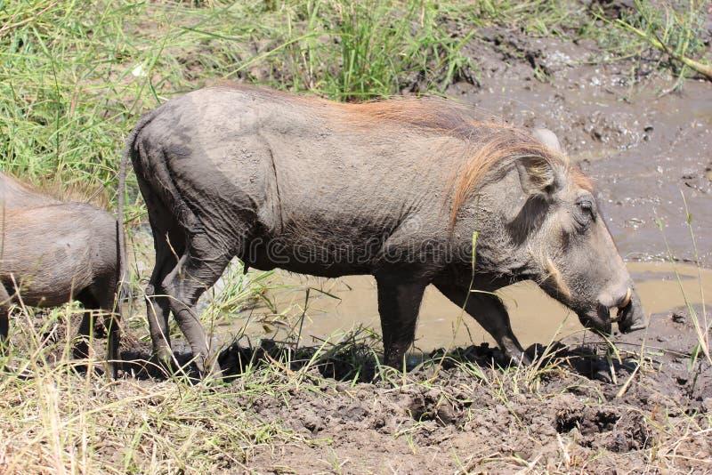 Mammifère d'Africain de phacochère image libre de droits