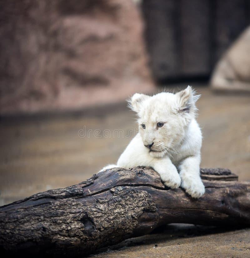 Mammifère, lion, faune, groupe de race de chien