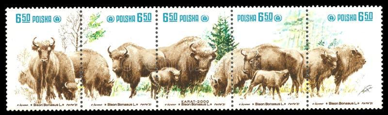 Mammifères, bison photo libre de droits