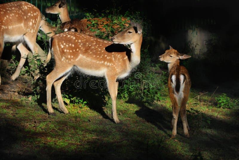Mammifères d'animaux de parc de région boisée de cerfs communs affrichés photo stock