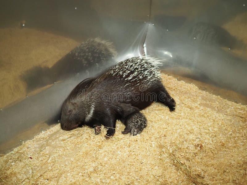 mammifères Une mère de porc-épic allaitant son bébé images stock