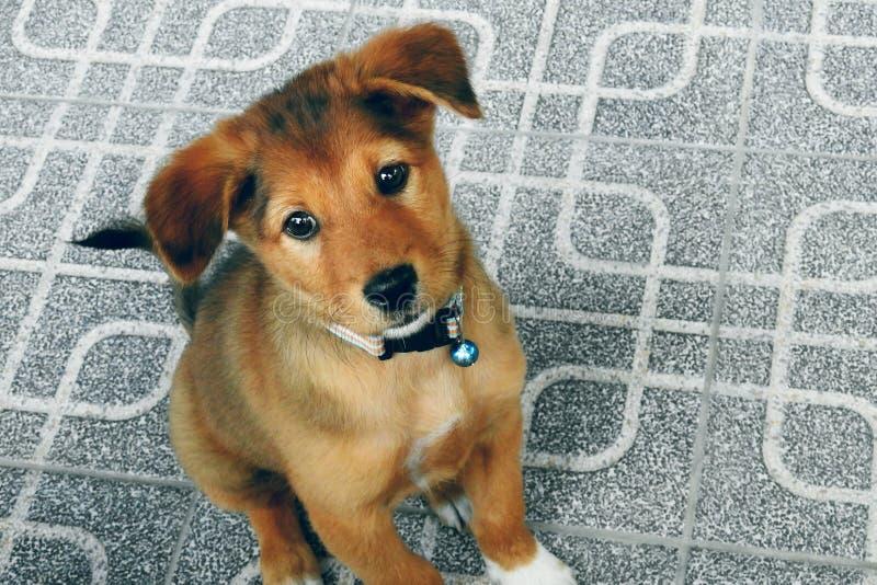 Mammiferi tailandesi svegli dell'animale domestico del cucciolo fotografie stock