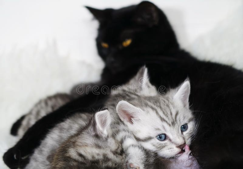 Mammilla nipple of a cat. The kitten sucks the breast. The cat feeds the kittens. Breastfeeding stock photo