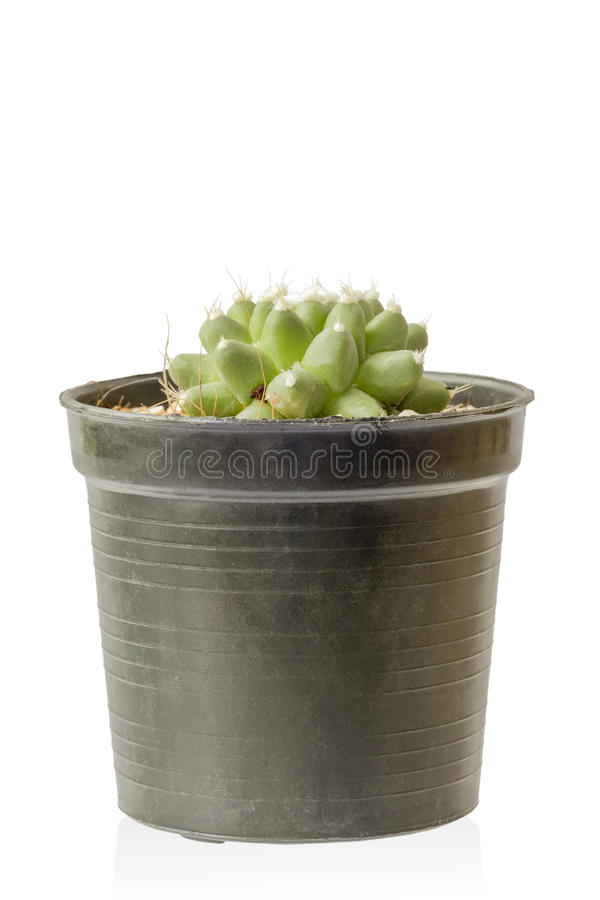 Mammillaria bucareliensis cactus succulent plant. In pot isolated on white background royalty free stock photography