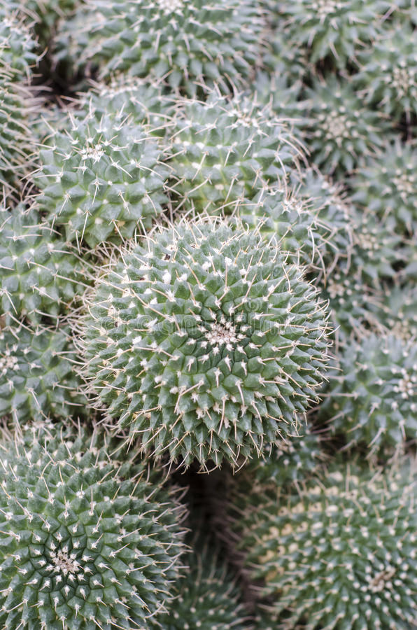 Download Mammillaria cactus stock photo. Image of green, mammillaria - 28533014