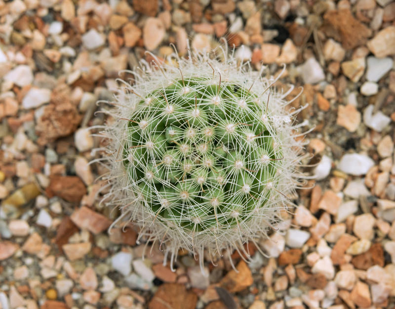 Mammillaria cactus royalty free stock images