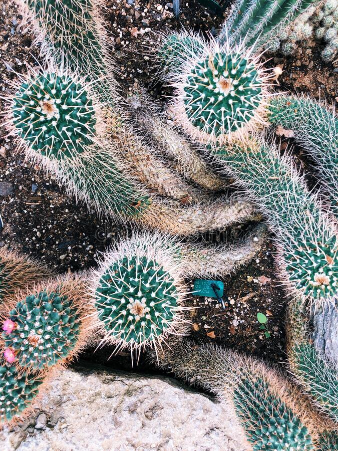 Mammillaria compressa, commonly called mother of hundreds stock image