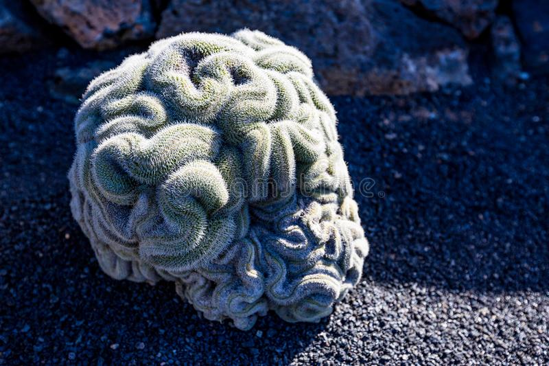 Mammillaria elongata, cacto do cérebro em Lanzarote, Espanha foto de stock royalty free