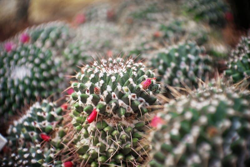 Mammillaria karwinskiana ssp nejapensis kępa nasieniodajnego strąka, kaktus w ogródzie brown kamień wokoło, suszy tolerancyjna ro fotografia stock