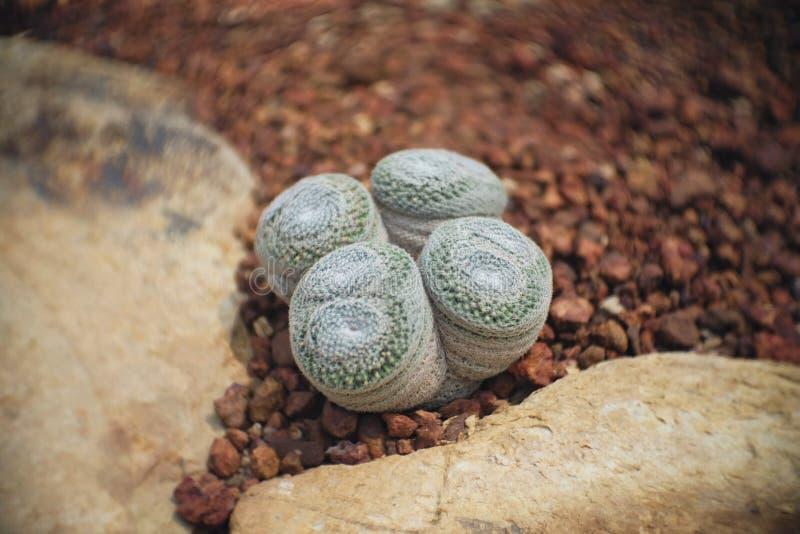 Mammillaria microthele haben vier Zwilling, Kaktus im Garten hat einen braunen Stein herum, Kakteen, Succulent, tolerante Anlage  lizenzfreie stockbilder