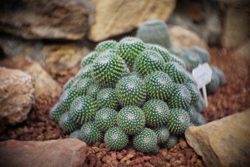Mammillaria sp kępa, kaktus w ogródzie brown kamień wokoło, kaktusy, Cactaceae, sukulent, drzewo, suszy tolerancyjna roślina fotografia stock