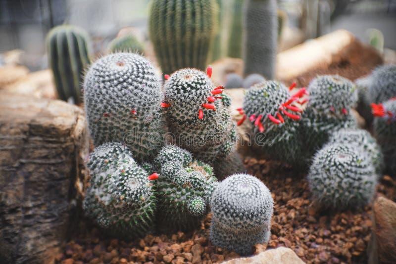Mammillaria sp kępa nasieniodajnego strąka, kaktus w ogródzie brown kamień wokoło, kaktusy, sukulent, suszy tolerancyjna roślina zdjęcie royalty free