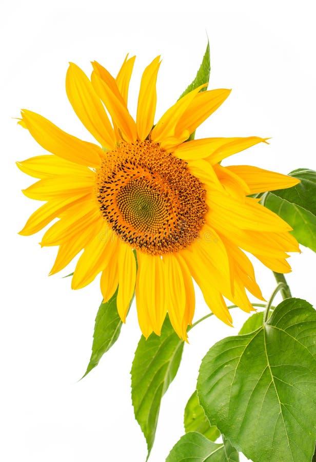 Mammoth Sunflower Isolated Stock Photo