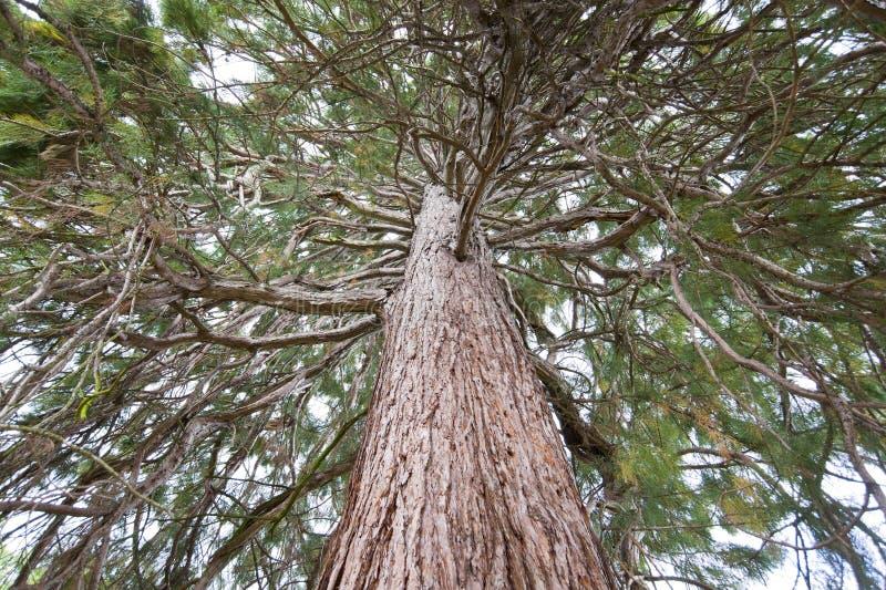 mammutbaum stockfoto