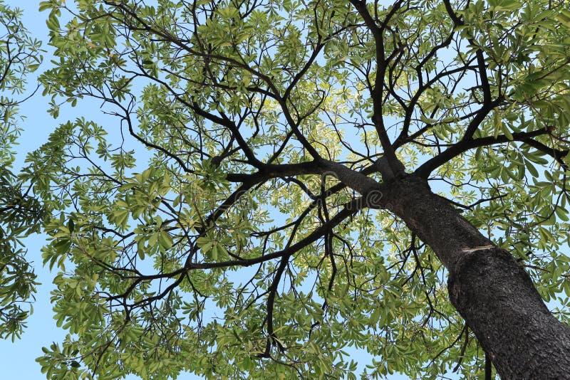 Mammutbaumbaum und Ansicht des blauen Himmels schön stockbild