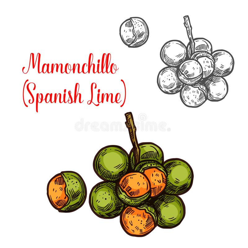 Mamonchillo lime vector sketch fruit. Mamonchillo lime vector sketch tropical fruit. Botanical design of Spanish lime or Melicoccus bijugatus for juice, food or royalty free illustration