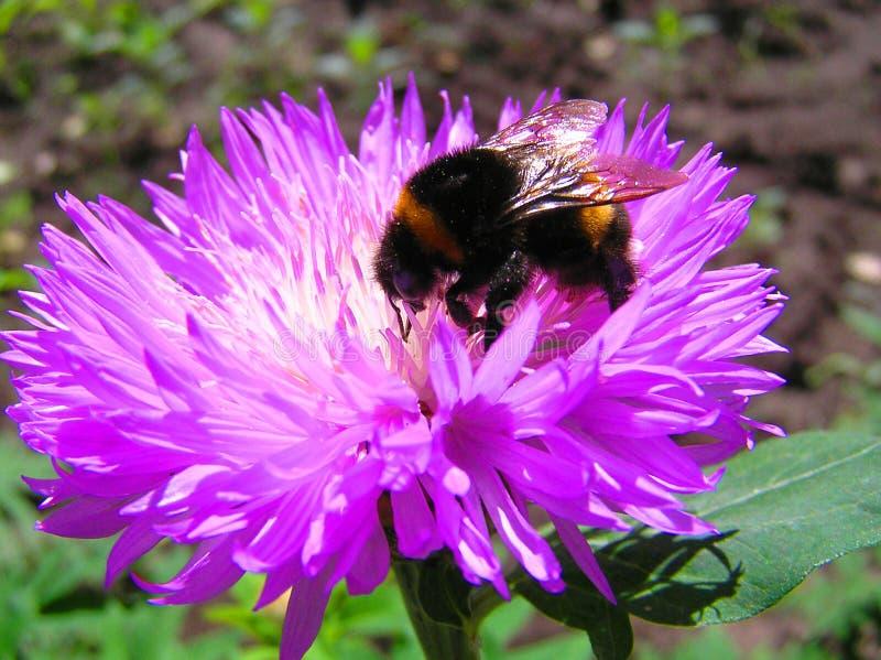 Mamroczącej pszczoła na kwiacie obrazy royalty free
