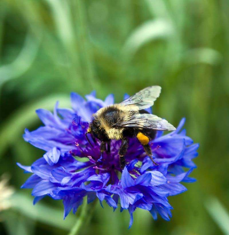 mamrocze kwiat pszczoły fotografia royalty free