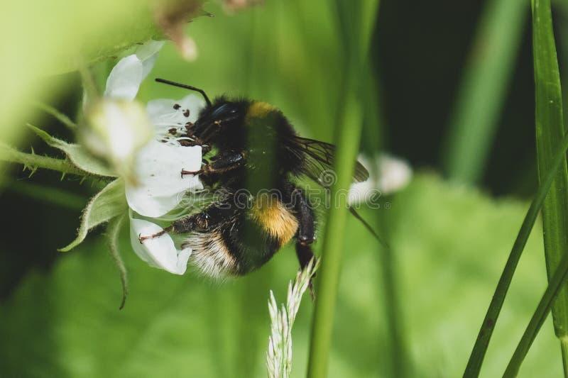 mamrocze kwiat pszczo?y zdjęcia royalty free
