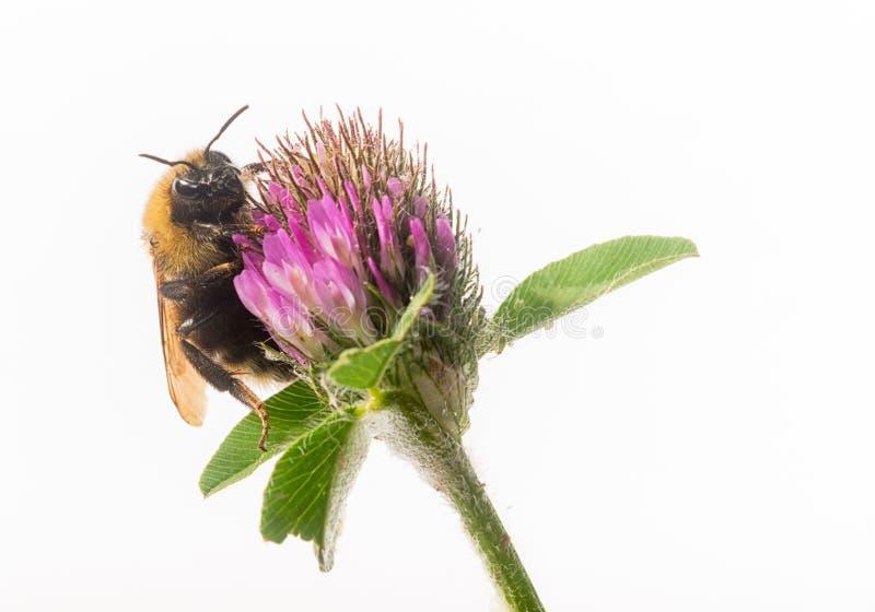Mamrocze pszczoły na Czerwonej koniczynie zdjęcia stock