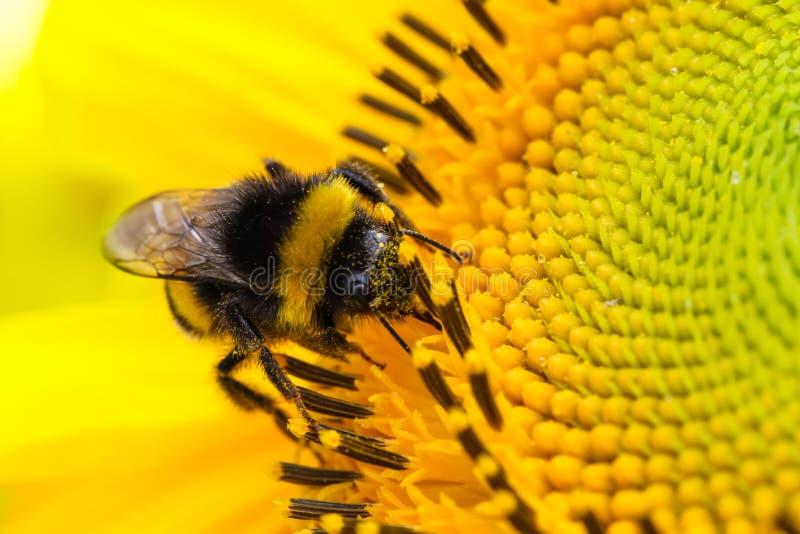 Mamrocze pszczoły pollinator zbierackiego pollen na dysk powierzchni żółty świeży słonecznik podczas wiosny i lata zamknięty up m zdjęcia stock