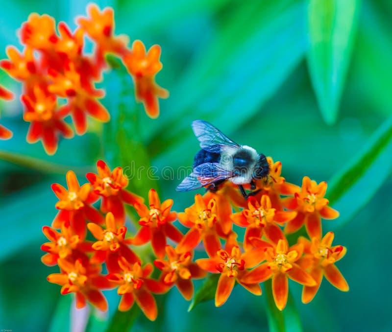 Mamrocze pszczo?y na r??owym kwiacie obraz royalty free