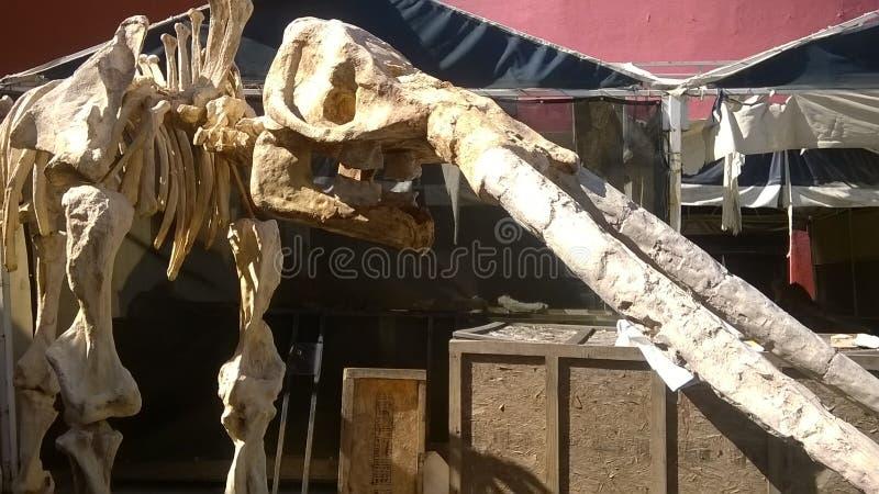 Mamut skeleton stock images