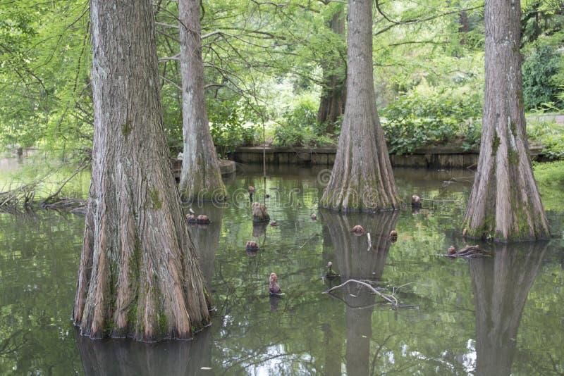 Mamutowy drzewo fotografia royalty free