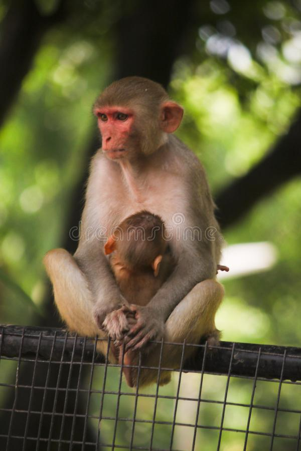 Mamy małpa zdjęcie stock