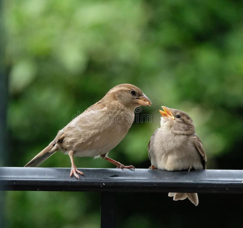 Mamy mały brown ptasi karmienie jej dziecko zdjęcia royalty free